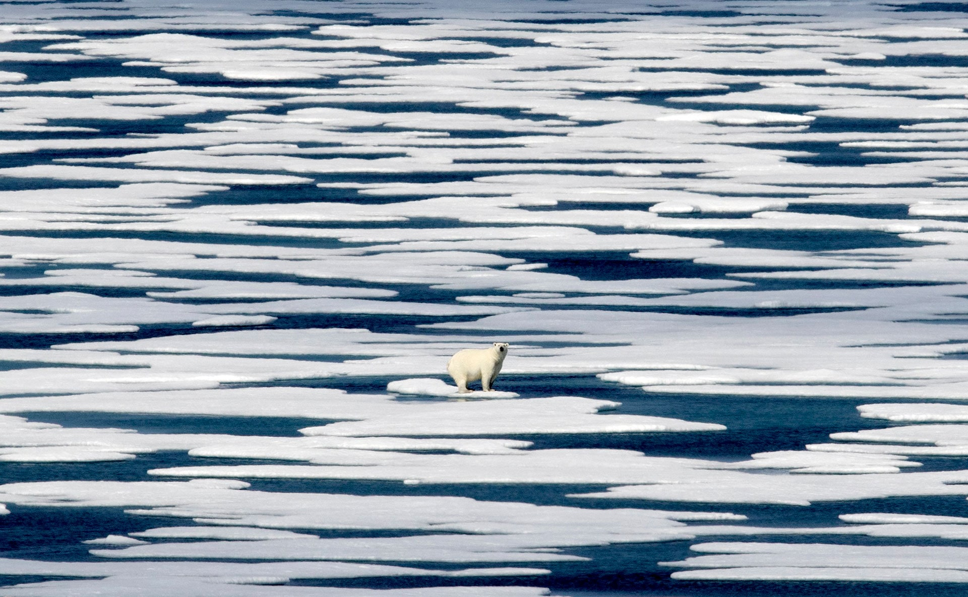 A polar bear stands on the ice