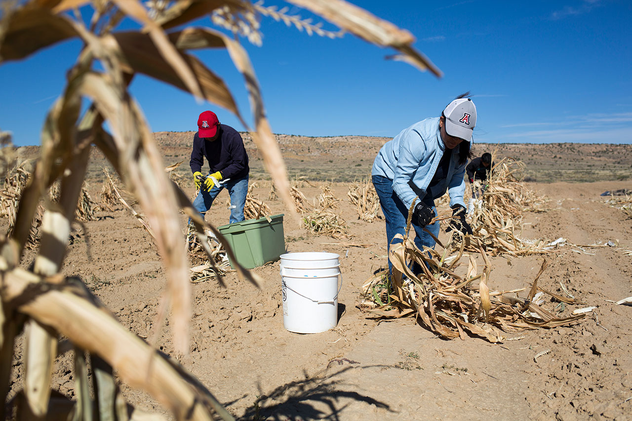 Hopi harvest corn. The tribe gets 87 percent of its general fund revenue from coal and related payments. But some native people worry that burning coal contributes to climate change and drought.