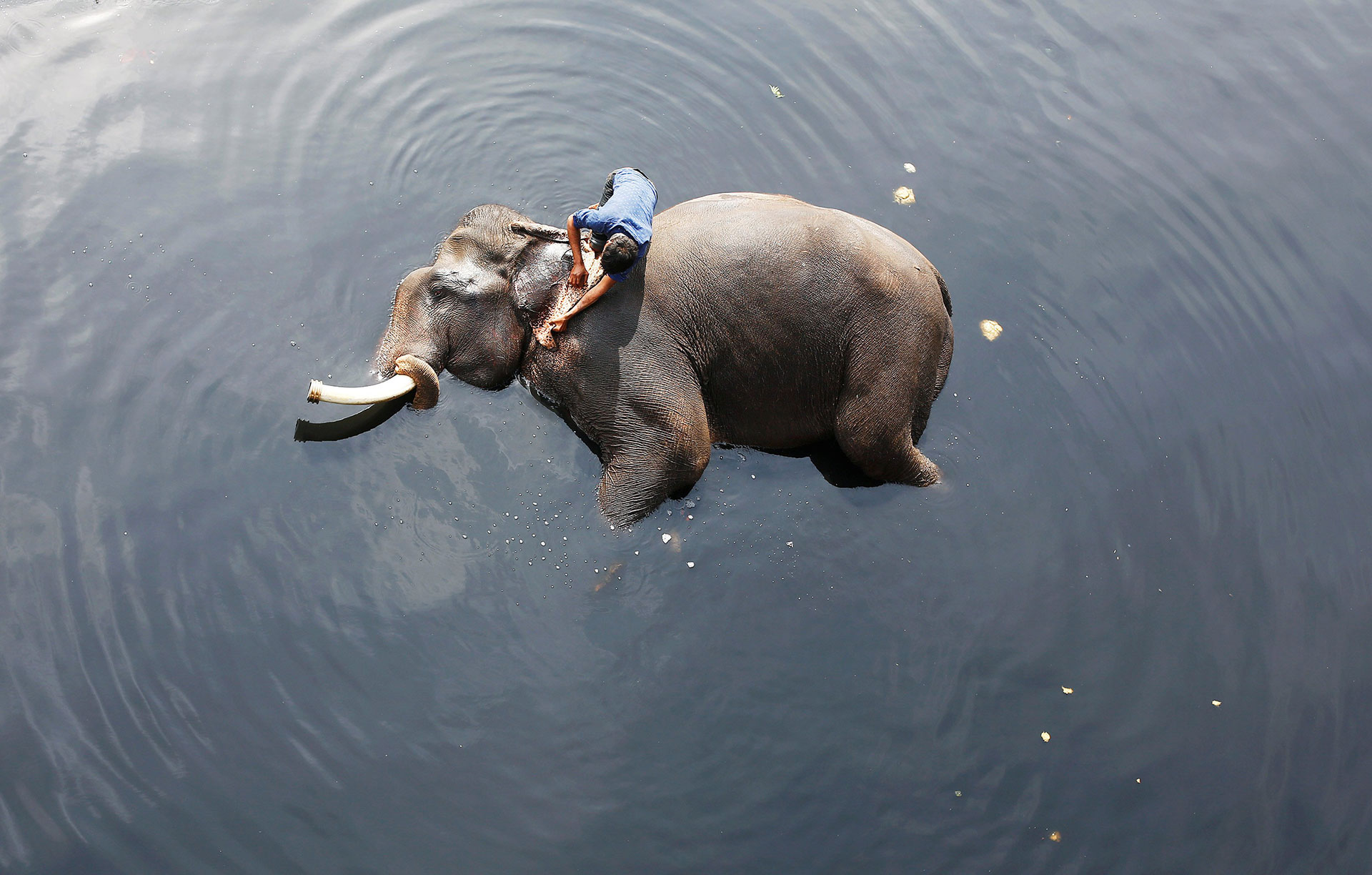 A mahout bathes his elephant in the Yamuna river in New Delhi