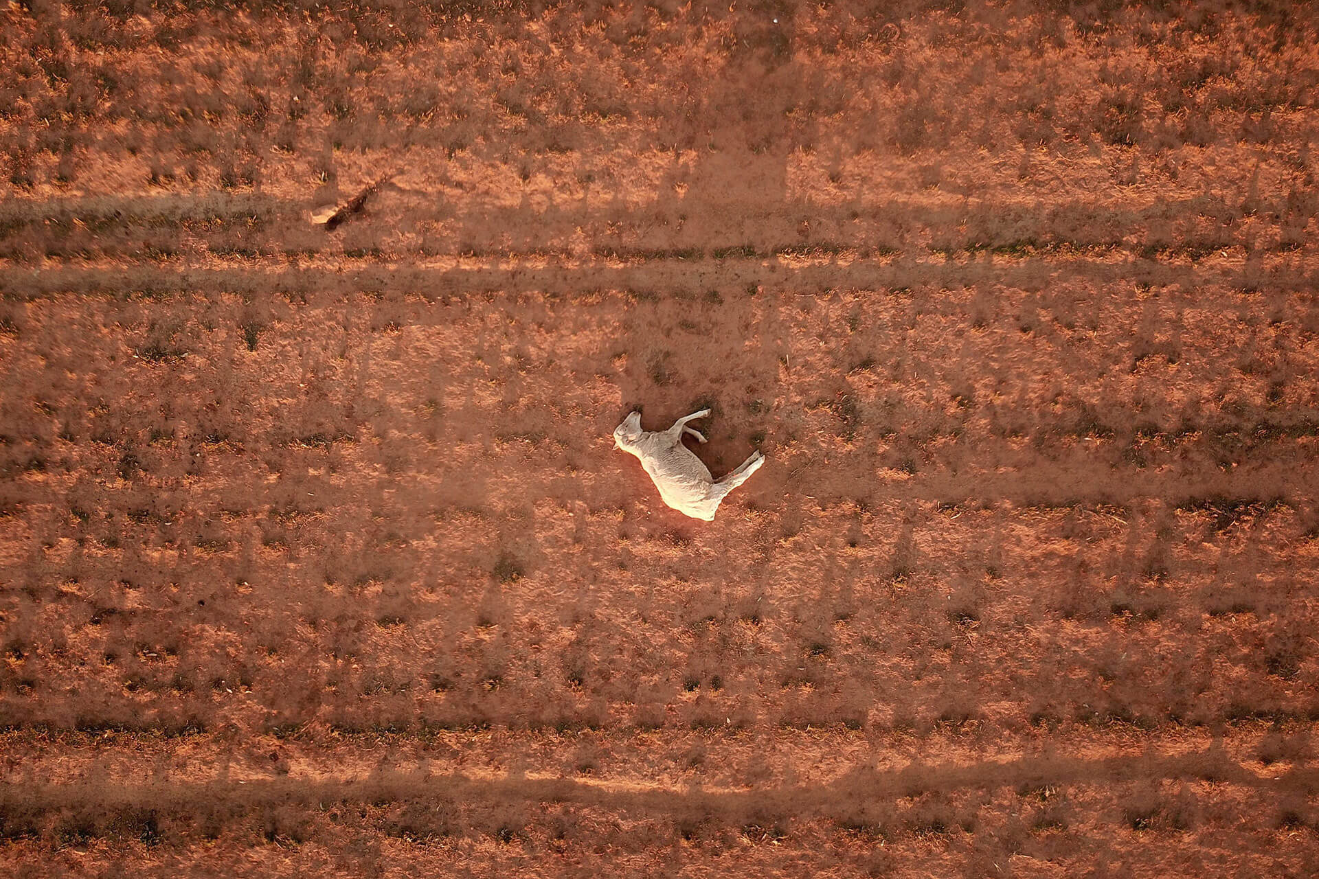 A dead sheep lies in a dry and dusty field of a failed crop near Parkes, New South Wales, Australia