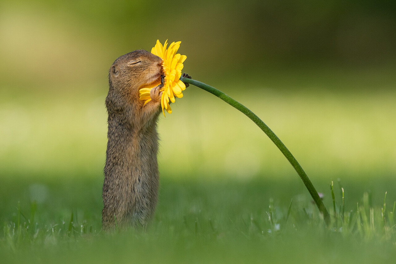 A squirrel appears to take a deep whiff of a flower in Vienna on June 5.